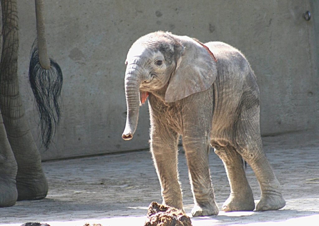 Baby elephant at Wuppertal Zoo