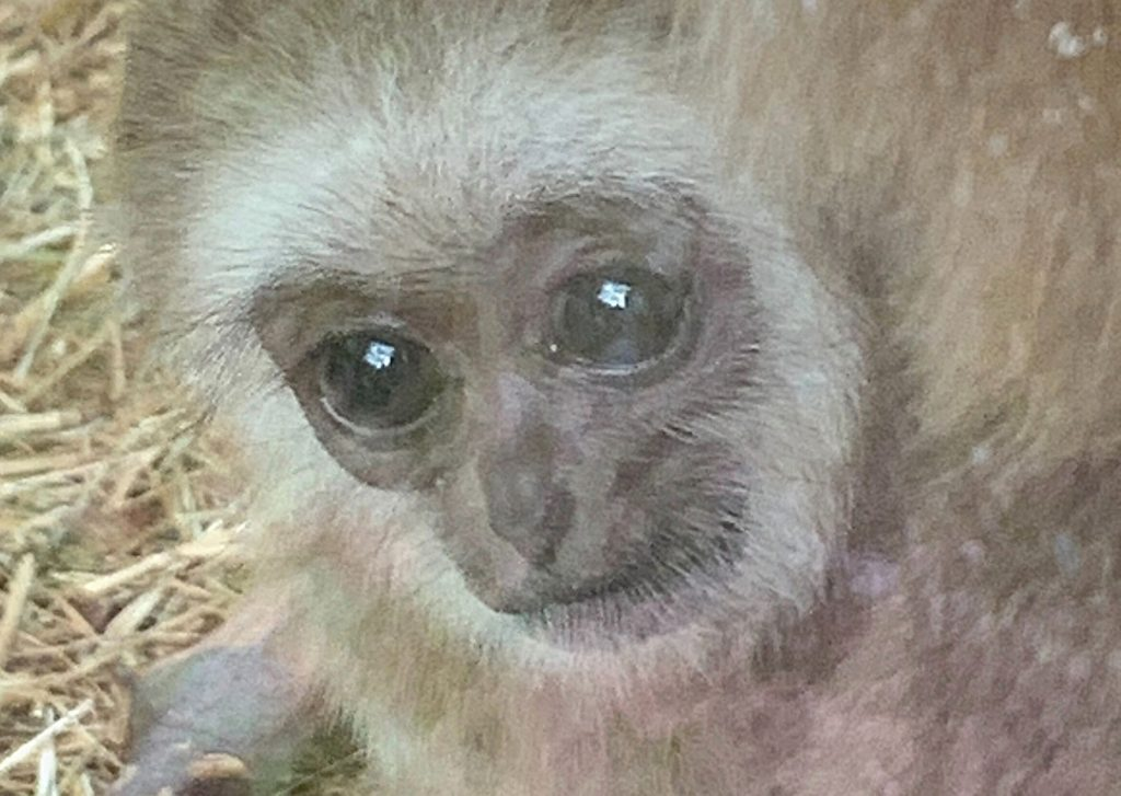 Baby white-hand gibbon Khao at Wuppertal Zoo