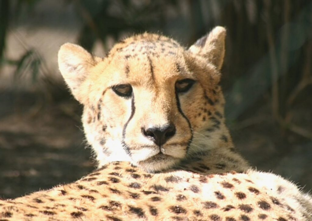 Cheetah relaxing in the sun at Wuppertal Zoo