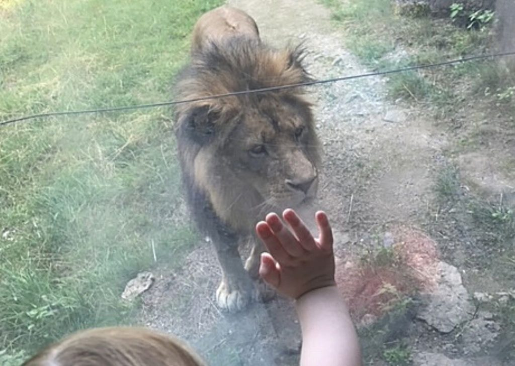 Miss M viewing the lions in their feeding area at Wuppertal Zoo: part of the largest lion enclosure in Europe