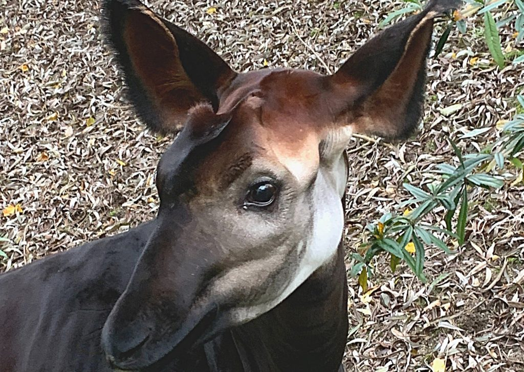 Thabo just became a big brother: Okapi at Wuppertal Zoo