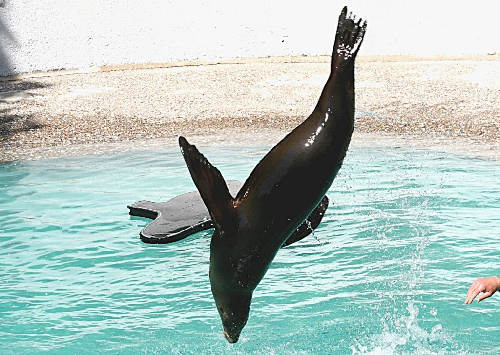 Sealion mid-jump, Wuppertal Zoo