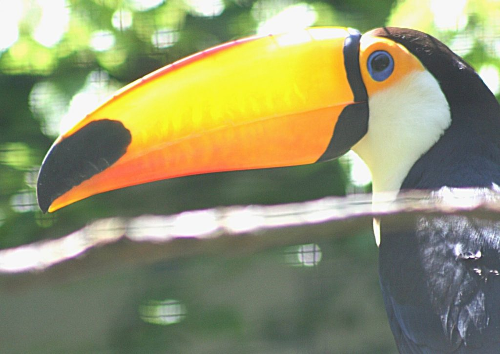Toucan at Wuppertal Zoo