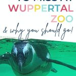 Pin: What not to miss at Wuppertal Zoo and why your should go, with African penguin swimming