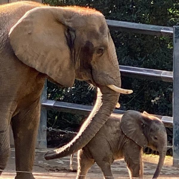 Mother elephant and young calf, part of the very successful elephant breeding program at Wuppertal Zoo.