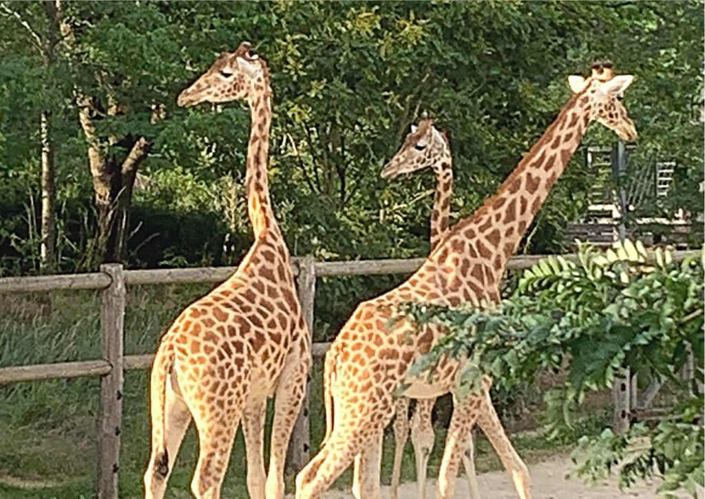 The zoo has the most giraffes in Europe and is responsible for the European giraffe (breeding) book. Go see some of the animals in Paris. One of our fun things to see in Paris with kids