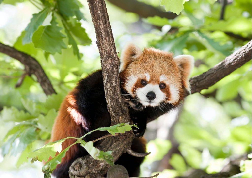 Red pandas are one of Miss M's favourite animals and can be seen at the Menagerie